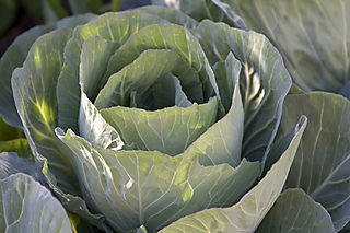 Cabbage_08_07_12