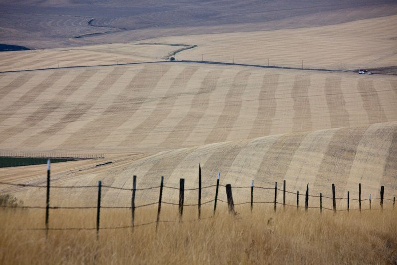 Walla Walla_wheat field2
